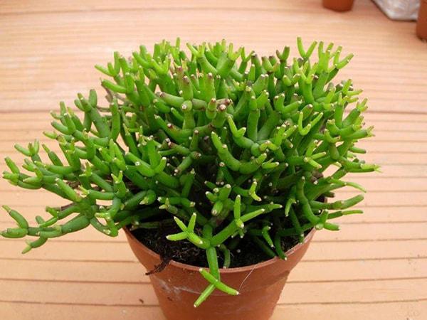 Cây mầm xanh là cây phong thủy để bàn cho mệnh Thủy đón nhận được nhiều may mắn trong công việc